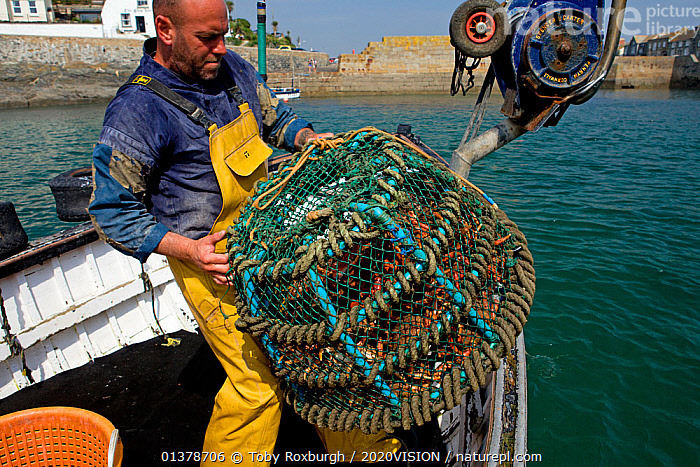 Fisherman sinking a basket of freshly caught Spiny spider crabs (Maja squinado) from 'Rhiannon', a crabber based in Porthleven, he will retrieve the basket later when the buyer is ready to collect, Cornwall, England, UK, April 2011 Model released  ,  2020VISION,CRABS,ENGLAND,FISHERMAN,FISHING BOATS,INVERTEBRATES,PEOPLE,SEAS,UK,ABOARD,ARTHROPODS,BOATS,CAUCASIAN,COASTAL WATERS,CRUSTACEANS,EUROPE,FISHERIES,FISHERMEN,FISHING,MAN,ONE,OUTDOORS,SPIDER CRABS,SUSTAINABLE,WORKING,WORKING BOATS,United Kingdom  ,  Toby Roxburgh / 2020VISION