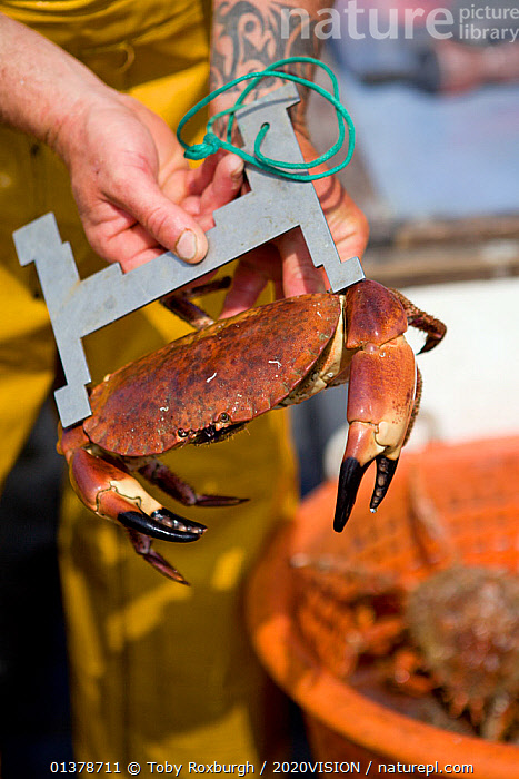 Fisherman measuring a caught Edible crab (Cancer pagarus) to check it meets minimum size requirements for landing, Cornwall, England, UK, April 2011  ,  2020VISION,CRABS,ENGLAND,FISHERMAN,FISHING BOATS,INVERTEBRATES,PEOPLE,SEAS,UK,ARTHROPODS,BOATS,CAUCASIAN,COASTAL WATERS,CRUSTACEANS,EUROPE,FISHERIES,FISHERMEN,FISHING,MAN,ONE,OUTDOORS,SUSTAINABLE,VERTICAL,WORKING,WORKING BOATS,United Kingdom  ,  Toby Roxburgh / 2020VISION