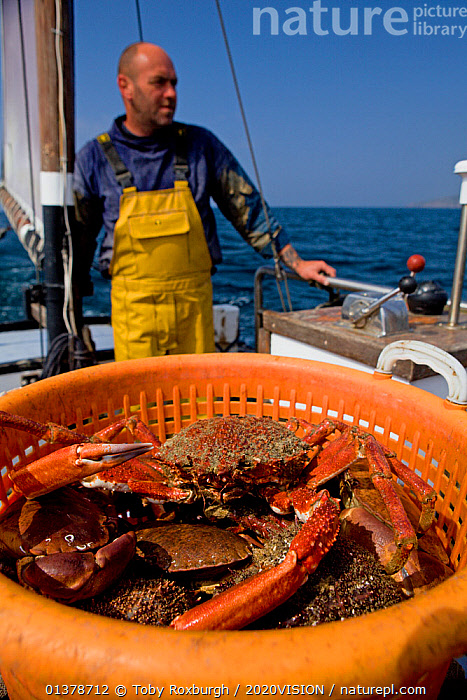 Fisherman heading back to port with a full basket of Edible crabs (Cancer pagurus) and Spiny spider crabs (Maja squinado), caught using pots from 'Rhiannon', a crabber based in Porthleven, Cornwall, England, UK, April 2011 Model released  ,  ABOARD,ARTHROPODS,BOATS,CAUCASIAN,COASTAL WATERS,CRUSTACEANS,EUROPE,FISHERIES,FISHERMEN,FISHING,MAN,ONE,OUTDOORS,SUSTAINABLE,VERTICAL,WORKING,WORKING BOATS,2020VISION,CRABS,ENGLAND,FISHERMAN,FISHING BOATS,INVERTEBRATES,PEOPLE,SEAS,UK,United Kingdom  ,  Toby Roxburgh / 2020VISION