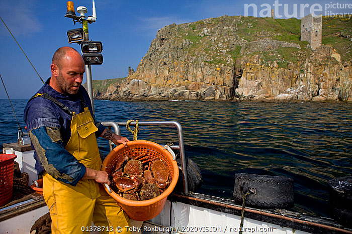 Fisherman with a full basket of Edible crabs (Cancer pagurus) and Spiny spider crabs (Maja squinado), caught using pots, with an old tin mine on cliffs in the background, Trewavas Head, Cornwall, England, UK, April 2011 Model released.  ,  2020VISION,CRABS,ENGLAND,FISHERMAN,FISHING BOATS,INVERTEBRATES,PEOPLE,SEAS,UK,ABOARD,ARTHROPODS,BOATS,CAUCASIAN,COASTAL WATERS,CRUSTACEANS,EUROPE,FISHERIES,FISHERMEN,FISHING,MAN,ONE,OUTDOORS,SUSTAINABLE,WORKING,WORKING BOATS,United Kingdom  ,  Toby Roxburgh / 2020VISION