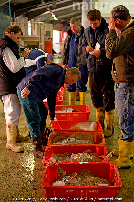 Buyers inspecting crates of freshly caught fish at Newlyn Harbour fish auction, Cornwall, England, UK, March 2011  ,  CAUCASIAN,EUROPE,FISHERIES,INDOORS,MEN,SUSTAINABLE,VERTICAL,2020VISION,ENGLAND,PEOPLE,SEAS,SEVEN,TRADE,UK,United Kingdom  ,  Toby Roxburgh / 2020VISION