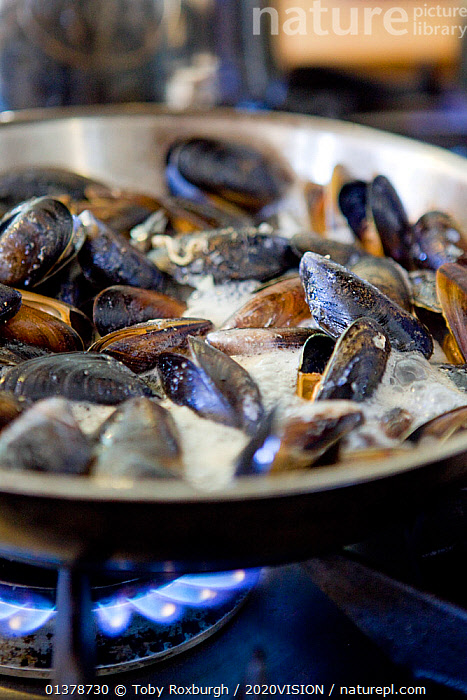 Common mussels (Mytilus edulus) being cooked in a pan on a gas cooker, Dorset, England, UK, February 2011  ,  2020VISION,COOKING,ENGLAND,FOOD,INVERTEBRATES,MARINE,SEAS,UK,BIVALVES,EUROPE,MOLLUSCS,MUSSELS,MYTILIDAE,SUSTAINABLE,VERTICAL,PROCEDURES,United Kingdom  ,  Toby Roxburgh / 2020VISION