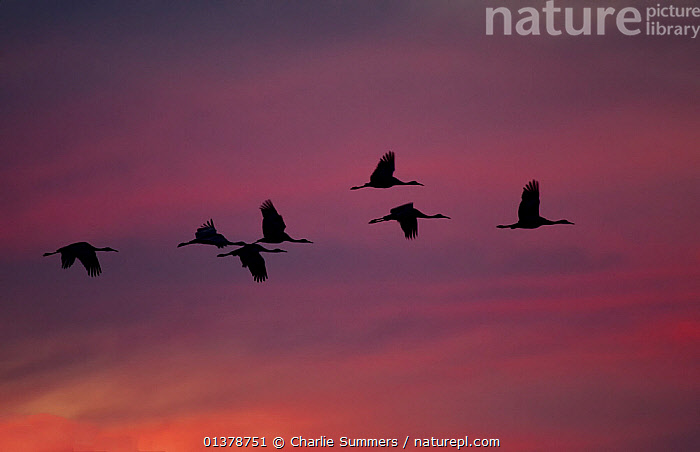 It Was Twilight And Sandhill Cranes >> Nature Picture Library Flock Of Greater Sandhill Cranes Grus