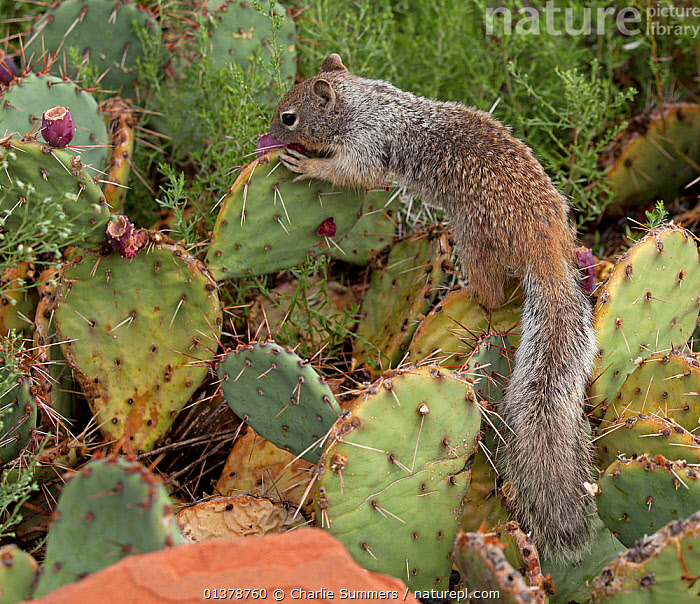 Rock Squirrel (Otospermophilus / Spermophilus variegatus) foraging for seed pods from a Prickly Pear Cactus. Grand Canyon, Colorado, September.  ,  CACTI,MAMMALS,USA,BEHAVIOUR,FORAGING,GROUND SQUIRRELS,NORTH AMERICA,RODENTS,VERTEBRATES,Plants  ,  Charlie Summers