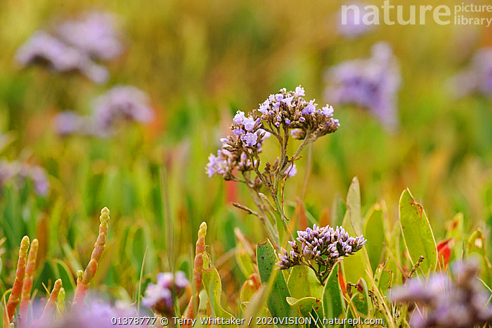 Common sea lavender (Limonium vulgare), Abbotts Hall Farm Nature Reserve, Essex, England, UK, July  ,  COASTS,EUROPE,PLANTS,SALTMARSHES,2020VISION,DICOTYLEDONS,ENGLAND,FLOWERS,PLUMBAGINACEAE,UK,United Kingdom  ,  Terry Whittaker / 2020VISION