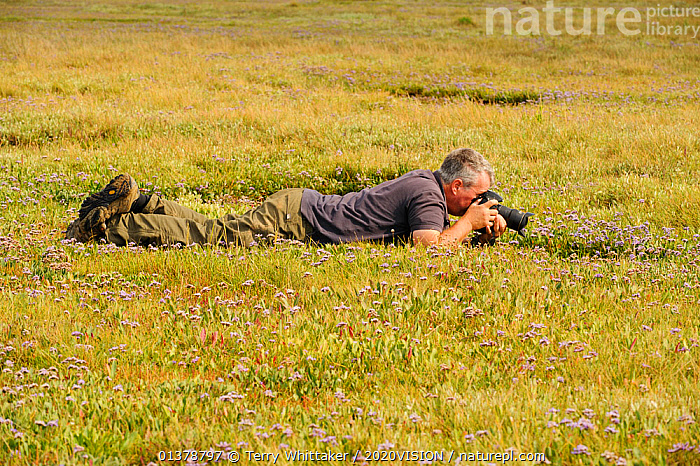Photographer Terry Whittaker photographing Common sea lavender (Limonium vulgare) growing on regenerated saltmarsh habitat whilst on assignment for 2020VISION, Abbotts Hall Farm Nature Reserve, England, Essex, UK, July 2011. Model release available.  ,  CAUCASIAN,COASTS,EUROPE,MAN,ONE,OUTDOORS,PHOTOGRAPHERS,PHOTOGRAPHY,SALTMARSHES,2020VISION,ENGLAND,PEOPLE,UK,United Kingdom  ,  Terry Whittaker / 2020VISION
