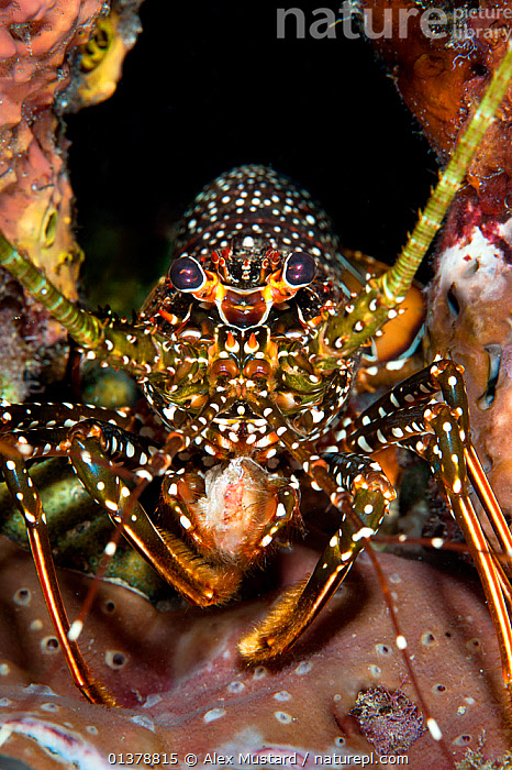 Spotted spiny lobster (Panulirus guttatus) advances from its lair at night, Sugar Wreck, Little Bahama Bank, The Bahamas, Caribbean Sea.  ,  INVERTEBRATES,ISLANDS,MARINE,NIGHT,SPOTTED,UNDERWATER,ARTHROPODS,ATLANTIC,CARIBBEAN,CLOSE UPS,CORAL REEFS,CRUSTACEANS,PORTRAITS,SPINY LOBSTERS,TROPICAL,VERTICAL,WEST INDIES  ,  Alex Mustard