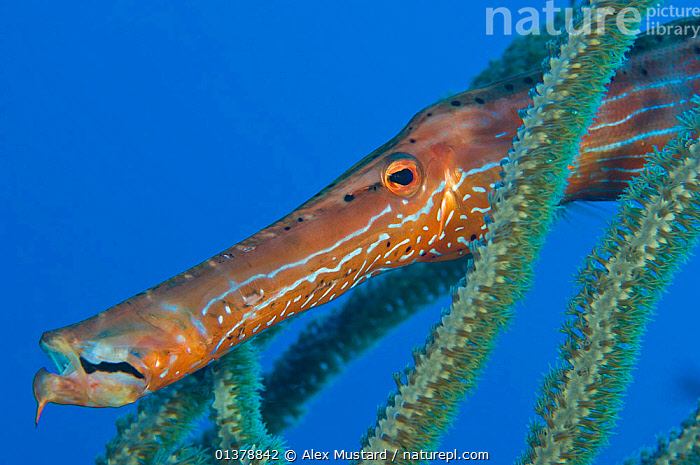 Caribbean trumpetfish (Aulostomus maculatus) hides between the branches of a soft coral bush, East End, Grand Cayman, Cayman Islands, British West Indies, Caribbean Sea.  ,  ATLANTIC,CARIBBEAN,CORAL REEFS,FACES,FISH,PORTRAITS,TROPICAL,WEST INDIES,CORALS,ISLANDS,MARINE,OSTEICHTHYES,TRUMPETFISH,UNDERWATER,VERTEBRATES  ,  Alex Mustard