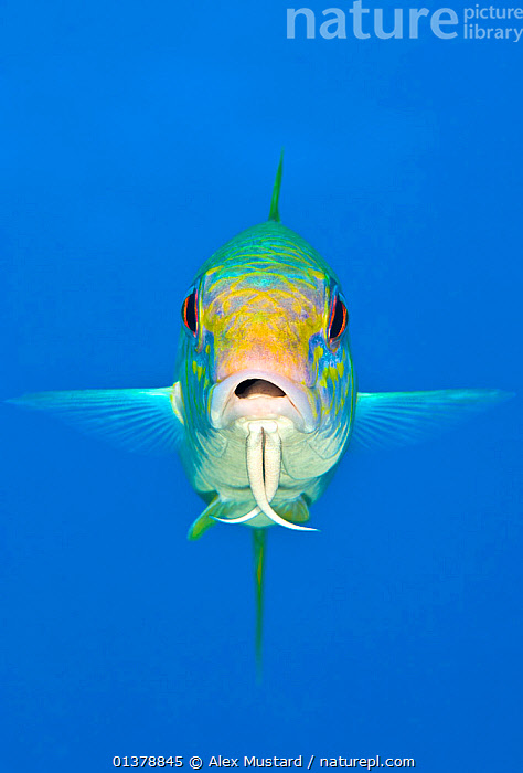 Yellow goatfish (Mulloidichthys martinicus) swimming above the reef, West End, Grand Cayman, Cayman Islands, British West Indies, Caribbean Sea.  ,  animal hed,ATLANTIC,BLUE,blue background,british West Indies,CARIBBEAN,caribbean sea,catalogue4,cayman islands,close up,CORAL REEFS,disbelief,EXPRESSIONS,facial expression,FISH,front view,GOATFISH,grand cayman,ISLANDS,MARINE,Nobody,one animal,open mouth,OSTEICHTHYES,PORTRAITS,sea,shock,surprise,SWIMMING,TROPICAL,UNDERWATER,VERTEBRATES,VERTICAL,WEST INDIES,WILDLIFE,YELLOW  ,  Alex Mustard