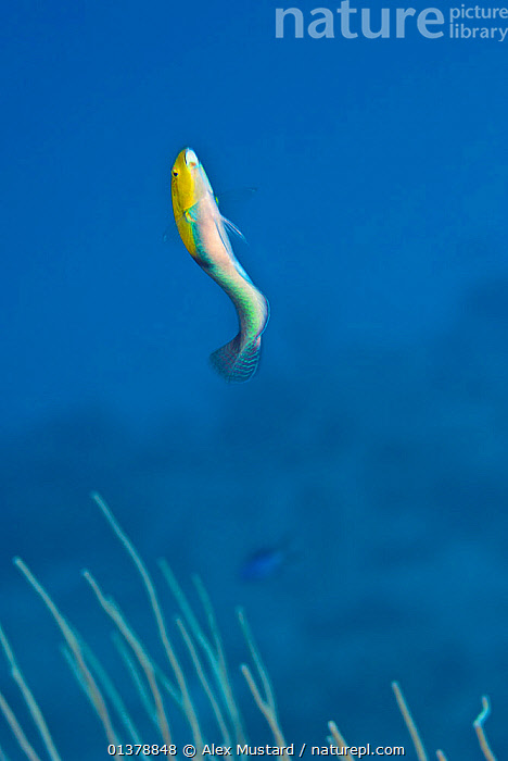Yellowhead wrasse (Halichoeres garnoti) male performing a courtship dance to attract females, East End, Grand Cayman, Cayman Islands, British West Indies, Caribbean Sea.  ,  agility,ATLANTIC,BEHAVIOUR,BLUE,blue background,british West Indies,CARIBBEAN,caribbean sea,catalogue4,cayman islands,CORAL REEFS,COURTSHIP,DISPLAY,FISH,grand cayman,ISLANDS,male animal,MALES,MARINE,MATING BEHAVIOUR,moving up,Nobody,on the move,one animal,OSTEICHTHYES,SEALIFE,showing off,side view,SWIMMING,TROPICAL,UNDERWATER,VERTEBRATES,VERTICAL,WEST INDIES,WILDLIFE,WRASSE,YELLOW,Communication  ,  Alex Mustard
