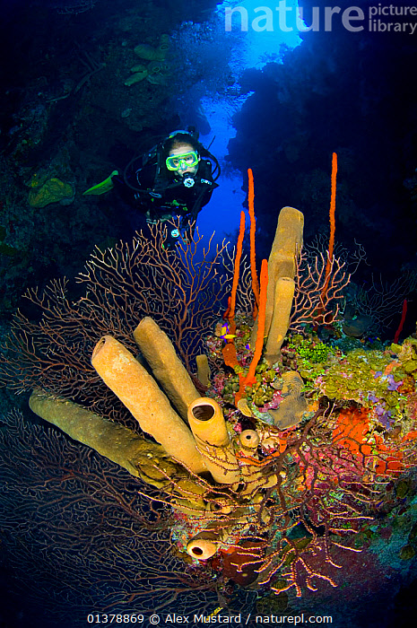 A diver exploring a coral reef with formation of brown tube sponges (Agelas conifera) red rope sponges (Amphimedon compressa) and deepwater sea fans (Iciligorgia nodulifera) East End, Grand Cayman, Cayman Islands, British West Indies, Caribbean Sea. Model released, Agelas conifera,Amphimedon compressa,ANTHOZOANS,ATLANTIC,BLUE,british West Indies,BROWN,CARIBBEAN,caribbean sea,catalogue4,cayman islands,CNIDARIANS,COLOURFUL,Coral,CORAL REEFS,CORALS,deepwater sea fan,Discovery,DIVING,exploration,grand cayman,Iciligorgia nodulifera,INVERTEBRATES,ISLANDS,MARINE,MIXED SPECIES,nature,one person,ORANGE,PEOPLE,PINK,plantlife,PORIFERA,red rope sponge,reef,scuba diver,scuba diving,sea,seabed,SEA FANS,SEA WHIPS,SPONGES,SWIMMING,TROPICAL,tube sponge,UNDERWATER,VERTICAL,WEST INDIES,WILDLIFE,WORMS, Alex Mustard