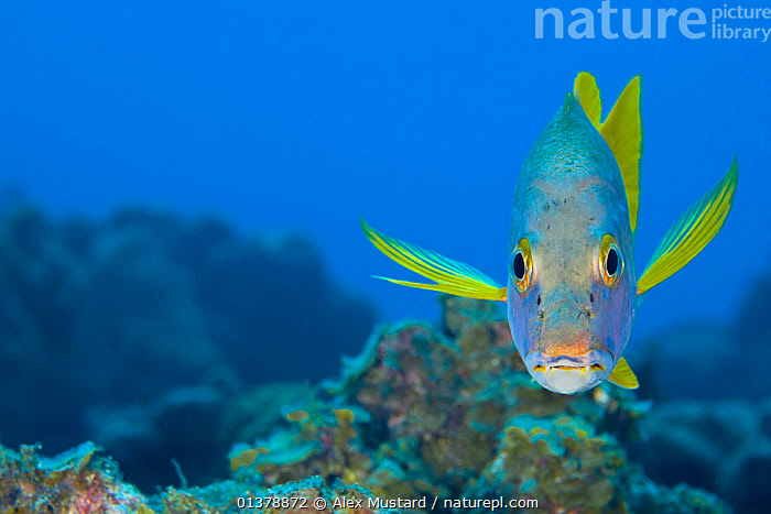 Schoolmaster snapper (Lutjanus apodus) above a coral reef, Georgetown, Grand Cayman, Cayman Islands, British West Indies, Caribbean Sea.  ,  animal portrait,anxious,ATLANTIC,BLUE,british West Indies,CARIBBEAN,caribbean sea,catalogue4,cayman islands,close up,Coral,CORAL REEFS,CORALS,EXPRESSIONS,facial expression,FISH,Georgetown,grand cayman,HABITAT,ISLANDS,looking at camera,MARINE,negative space,nervous,Nobody,one animal,OSTEICHTHYES,PORTRAITS,reef,sadness,sea,SEALIFE,SNAPPERS,timid,TROPICAL,UNDERWATER,VERTEBRATES,WEST INDIES,WILDLIFE,YELLOW  ,  Alex Mustard