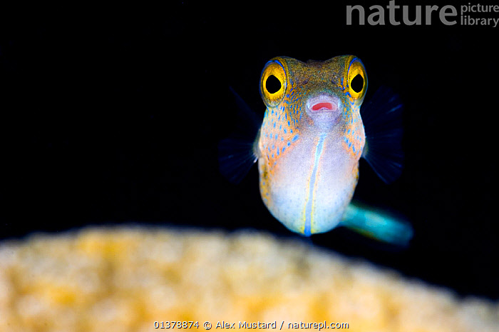 Sharpnose puffer (Canthigaster rostrata) portrait with the eyes standing out against a dark background, East End, Grand Cayman, Cayman Island, British West Indies, Caribbean Sea.  ,  animal eye,animal portrait,anxious,ATLANTIC,CARIBBEAN,caribbean sea,catalogue4,Cayman Island,close up,CLOSE UPS,CORAL REEFS,CORALS,CUTE,disbelief,EXPRESSIONS,EYES,facial expression,FISH,grand cayman,ISLANDS,MARINE,Nobody,one animal,OSTEICHTHYES,PORTRAITS,PUFFERFISH,ritish West Indies,SEALIFE,surprise,timid,TROPICAL,UNDERWATER,VERTEBRATES,WEST INDIES,WILDLIFE  ,  Alex Mustard