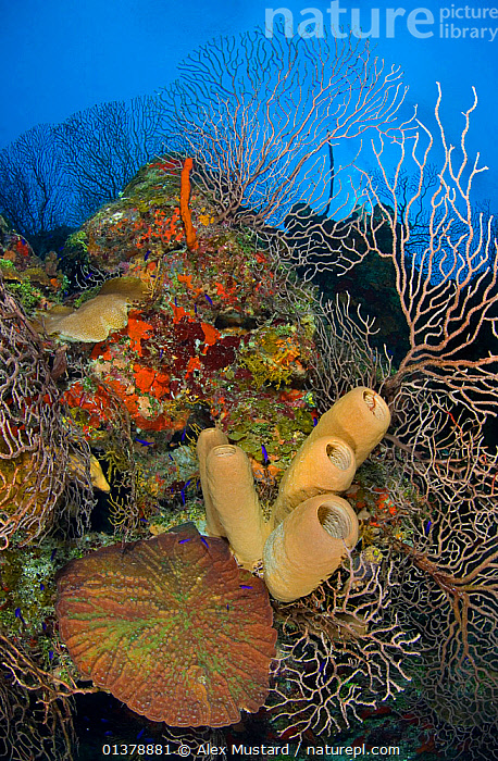 Coral reef outcrop with brown tube sponges (Agelas conifera) deepwater sea fans (Iciligorgia nodulifera) and knobby cactus coral (Mycetophyllia aliciae)  East End, Grand Cayman, Cayman Islands, British West Indies, Caribbean Sea.  ,  ANTHOZOANS,ATLANTIC,BROWN,CARIBBEAN,CORAL REEFS,PORIFERA,SEA FANS,SEA WHIPS,TROPICAL,VERTICAL,WEST INDIES,CNIDARIANS,CORALS,HARD CORALS,INVERTEBRATES,ISLANDS,MARINE,MIXED SPECIES,SPONGES,UNDERWATER,WORMS  ,  Alex Mustard
