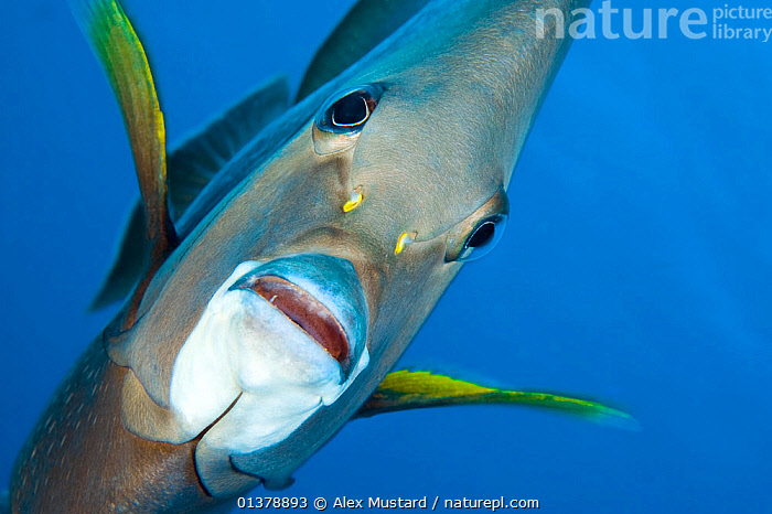 Grey angelfish (Pomacanthus arcuatus) portrait, Georgetown, Grand Cayman, Cayman Islands, British West Indies, Caribbean Sea., animal portrait, ATLANTIC, BLUE, blue background, british West Indies, CARIBBEAN, caribbean sea, catalogue4, cayman islands, close up, CORAL-REEFS, disbelief, expression, EXPRESSIONS, FACES, facial expression, FISH, front view, Georgetown, grand cayman, ISLANDS, looking at camera, MARINE, Nobody, one animal, OSTEICHTHYES, SEALIFE, TROPICAL, UNDERWATER, VERTEBRATES, WEST-INDIES, WILDLIFE,West Indies, Alex Mustard