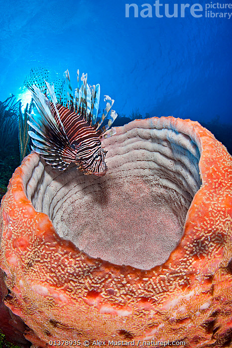Lionfish (Pterois volitans) sitting on the rim of large sponge on Bloody Bay Wall, Little Cayman, Cayman Islands, Caribbean Sea., ATLANTIC,CARIBBEAN,CORAL REEFS,FISH,PEACH,PORIFERA,STRIPED,TROPICAL,TURKEYFISH,VERTICAL,WEST INDIES,INVERTEBRATES,ISLANDS,LIONFISH,MARINE,MIXED SPECIES,OSTEICHTHYES,SPONGES,SUN,UNDERWATER,VERTEBRATES, Alex Mustard