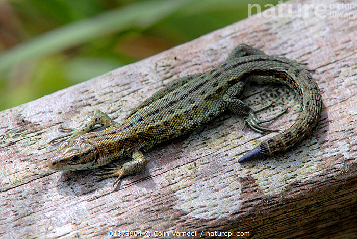 Adult common Lizard (Lacerta muralis) with new tail growth after shedding tail (autonomy). Dorset, UK, August.  ,  EUROPE, REPTILES, SAND-LIZARDS, UK, VERTEBRATES,United Kingdom,Lizards  ,  Colin Varndell