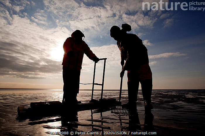 Cockle fishermen working in Morecambe Bay, Cumbria, England, UK, February. Model released. Did you know? Cockles are able to jump by bending and straightening their feet.  ,  BIVALVES,CAUCASIAN,CLOUDS,picday,COASTS,EUROPE,FISHERMEN,MEN,MOLLUSCS,MUDFLATS,OUTDOORS,SALTMARSHES,TWO,2020VISION,COCKLES,ENGLAND,FOOD,FORAGING,INVERTEBRATES,MARINE,PEOPLE,SILHOUETTES,SUN,UK,Weather,United Kingdom,2020cc  ,  Peter Cairns / 2020VISION