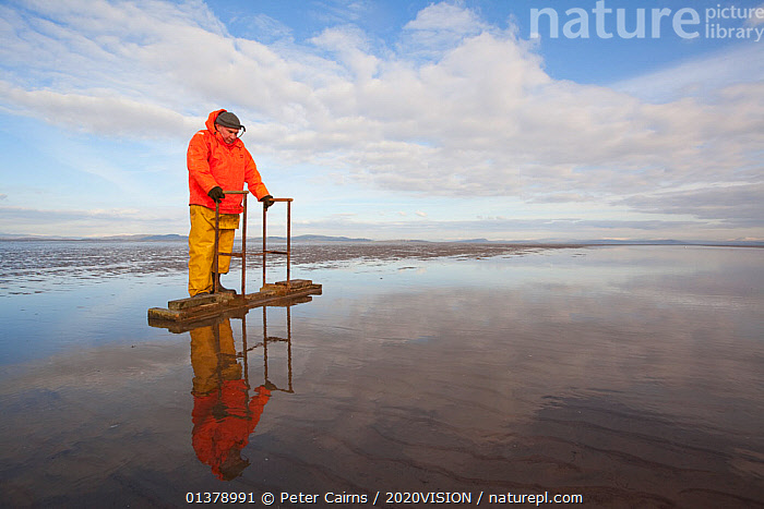 Cockle fisherman working in Morecambe Bay, Cumbria, England, UK, February. Model released.  ,  BIVALVES,CAUCASIAN,COASTS,EUROPE,FISHERMEN,MAN,MOLLUSCS,MUDFLATS,ONE,OUTDOORS,SALTMARSHES,2020VISION,COCKLES,ENGLAND,FOOD,FORAGING,INVERTEBRATES,LANDSCAPES,MARINE,PEOPLE,UK,United Kingdom  ,  Peter Cairns / 2020VISION