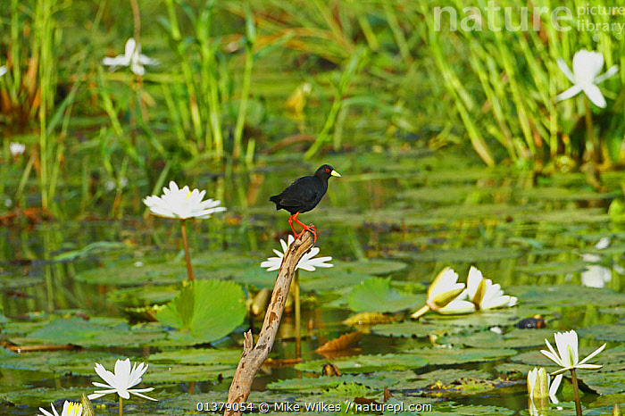 Black crake (Amaurornis flavirostra) perched on branch sticking out of water, amongst waterlilies, The Gambia, May  ,  AFRICA, BIRDS, BLACK, CRAKES, FLOWERS, VERTEBRATES, WATERFOWL, WaterLily, west Africa, WETLANDS, WHITE  ,  Mike Wilkes