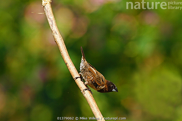 Bronze mannikin (Lonchura cucullata) perched in forest, The Gambia, December  ,  AFRICA,VERTEBRATES,WEST AFRICA,BIRDS,FINCHES,GAMBIA,VERTICAL  ,  Mike Wilkes