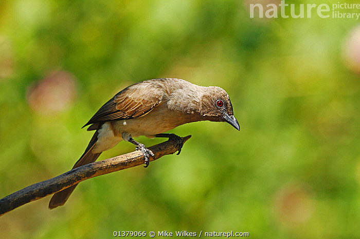 Common bulbul (Pycnonotus barbatus) perched, looking down, The Gambia, December  ,  AFRICA,BULBULS,VERTEBRATES,WEST AFRICA,BIRDS,GAMBIA,PORTRAITS  ,  Mike Wilkes