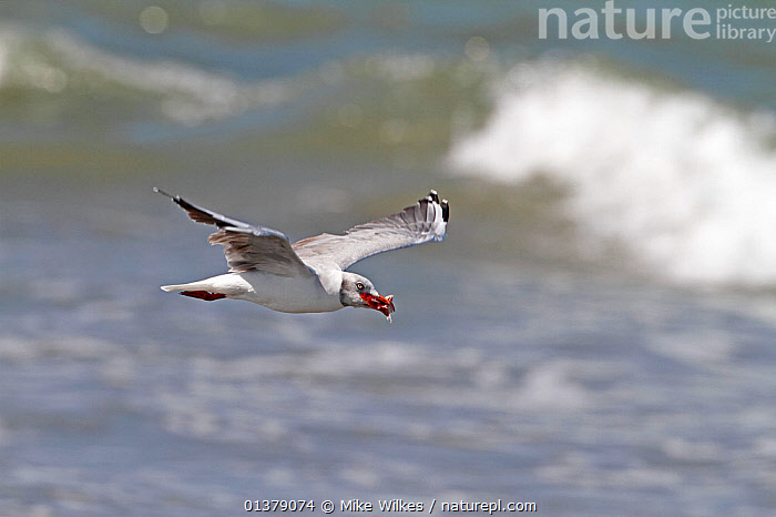 Grey-headed gull (Chroicocephalus cirrocephalus) in flight over water, with food in beak, The Gambia, December  ,  AFRICA, BIRDS, COASTS, FEEDING, FLYING, gambia, GULLS, Laridae, sea, SEABIRDS, VERTEBRATES, WAVES, WEST-AFRICA  ,  Mike Wilkes