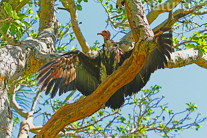 Hooded vulture (Necrosyrtes monachus) drying wings in tree after bathing, The Gambia, December  ,  BIRDS,GAMBIA,LOW ANGLE SHOT,SUNNING,VULTURES,WINGS,ACCIPITRIDAE,AFRICA,ENDANGERED,VERTEBRATES,WEST AFRICA  ,  Mike Wilkes