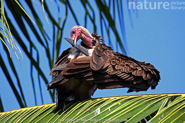 Hooded vulture (Necrosyrtes monachus) preening in tree, The Gambia, December  ,  ACCIPITRIDAE,AFRICA,BEHAVIOUR,ENDANGERED,GROOMING,PREENING,VERTEBRATES,WEST AFRICA,BIRDS,GAMBIA,LOW ANGLE SHOT,VULTURES  ,  Mike Wilkes