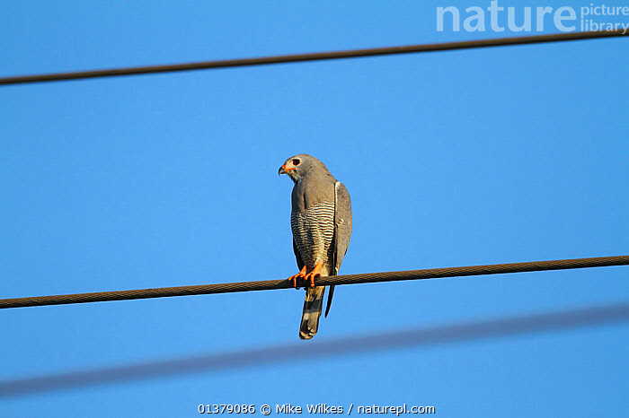 Lizard buzzard (Kaupifalco monogrammicus) perched on overhead electric cable, The Gambia, December  ,  BIRDS,BUZZARDS,ELECTRICITY,GAMBIA,LOW ANGLE SHOT,VERTICAL,ACCIPITRIDAE,AFRICA,BIRDS OF PREY,VERTEBRATES,WEST AFRICA,WIRES,Hawks,Lizards  ,  Mike Wilkes