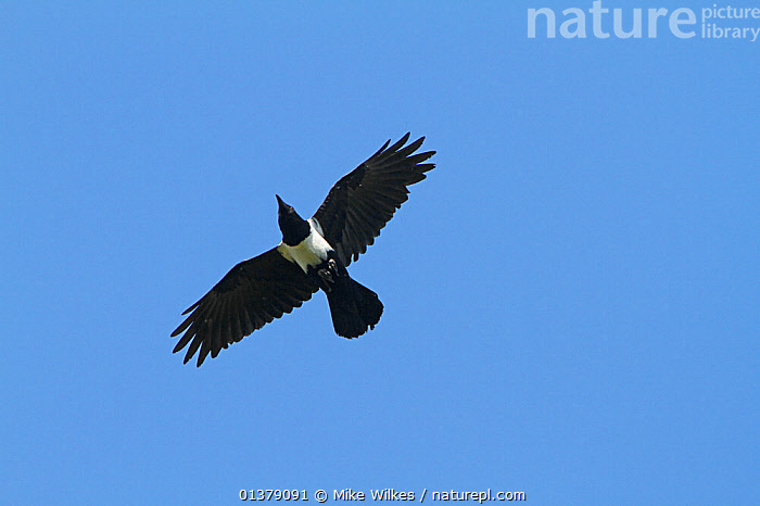 Pied crow (Corvus albus) in flight, The Gambia, December  ,  BIRDS,BLACK AND WHITE,CUTOUT,FLYING,GAMBIA,LOW ANGLE SHOT,AFRICA,CORVIDAE,CORVIDS,CROWS,VERTEBRATES,WEST AFRICA  ,  Mike Wilkes