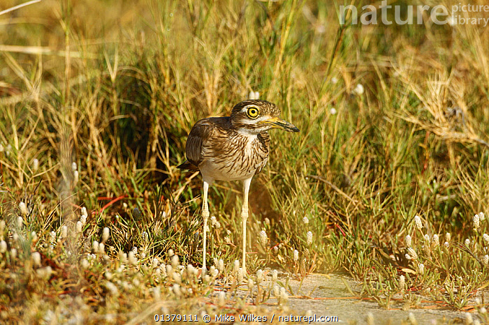 Spotted thick-knee / Cape dikkop (Burhinus capensis) on ground, The Gambia, December  ,  BIRDS,BURHINIDAE,GAMBIA,AFRICA,CAMOUFLAGE,SPOTTED DIKKOP,SPOTTED THICK KNEE,STONE CURLEWS,VERTEBRATES,WEST AFRICA  ,  Mike Wilkes
