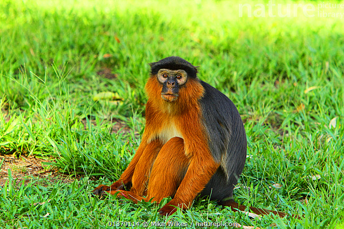 Western red colobus monkey (Procolobus badius) sitting on ground, The Gambia, December  ,  BROWN,CERCOPITHECIDAE,GAMBIA,MAMMALS,MONKEYS,PORTRAITS,PRIMATES,RUST,AFRICA,COLOBUS MONKEYS,ENDANGERED,WEST AFRICA  ,  Mike Wilkes