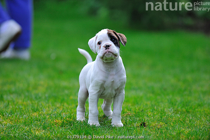 Boxer puppy, portrait  ,  LARGE DOGS,PETS,VERTEBRATES,WORKING DOGS,BABIES,CANIDAE,DOG,DOGS,OUTDOORS,PORTRAITS,PUPPIES,Canids  ,  David Pike