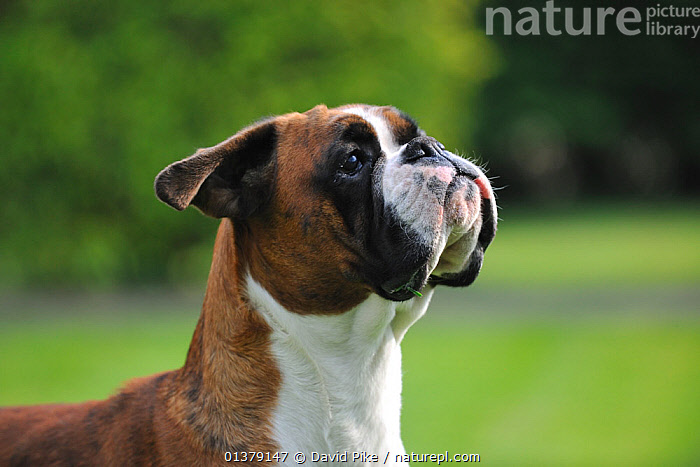 Boxer portrait  ,  HEADS,LARGE DOGS,PETS,VERTEBRATES,WORKING DOGS,CANIDAE,DOG,DOGS,OUTDOORS,PORTRAITS,Canids  ,  David Pike