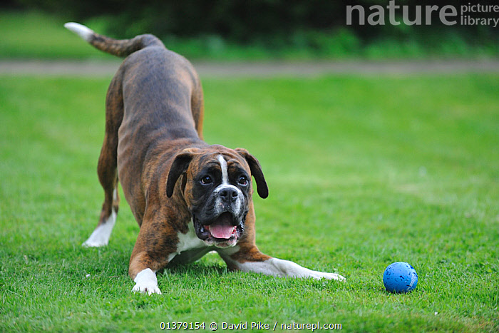 Boxer playing with ball  ,  BEHAVIOUR,LARGE DOGS,PETS,PLOAY,VERTEBRATES,WORKING DOGS,CANIDAE,DOG,DOGS,OUTDOORS,TOYS,Canids  ,  David Pike