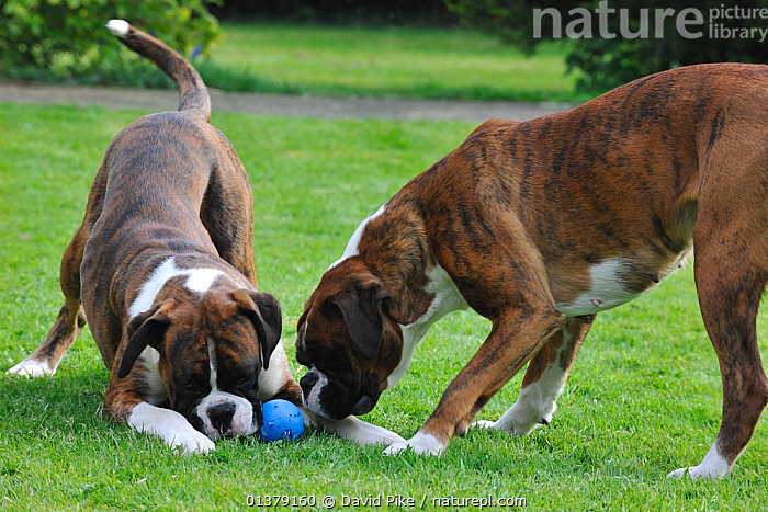 Two Boxers playing with ball  ,  LARGE DOGS,PETS,VERTEBRATES,WORKING DOGS,CANIDAE,DOG,DOGS,OUTDOORS,PLAY,TOYS,TWO,Communication,Canids  ,  David Pike