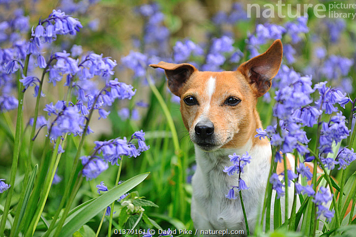 Female Jack russell terrier amongst flowering Bluebells  ,  BLUE,FEMALES,FLOWERS,PETS,VERTEBRATES,CANIDAE,DOG,DOGS,MEDIUM DOGS,OUTDOORS,TERRIERS,Canids  ,  David Pike