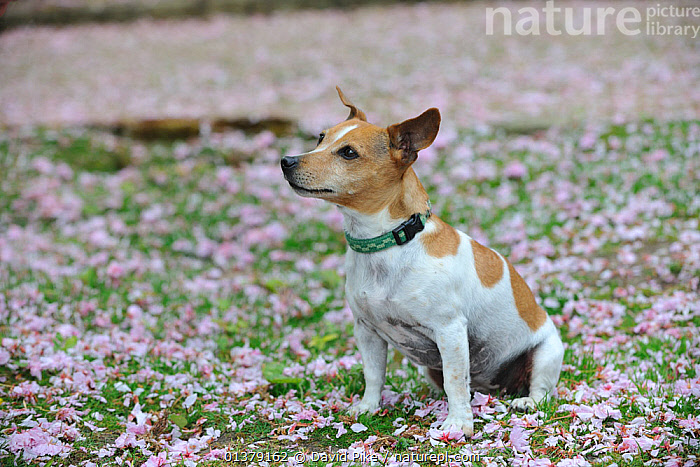 Female Jack russell terrier sitting on ground surrounded by fallen blossom  ,  CANIDAE,DOG,DOGS,MEDIUM DOGS,OUTDOORS,SITTING,TERRIERS,BLOSSOM,FEMALES,PETS,VERTEBRATES,Canids  ,  David Pike