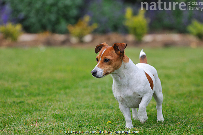 Jack russell terrier standing with front left paw raised  ,  CANIDAE,DOG,DOGS,MEDIUM DOGS,OUTDOORS,PORTRAITS,TERRIERS,PETS,VERTEBRATES,Canids  ,  David Pike