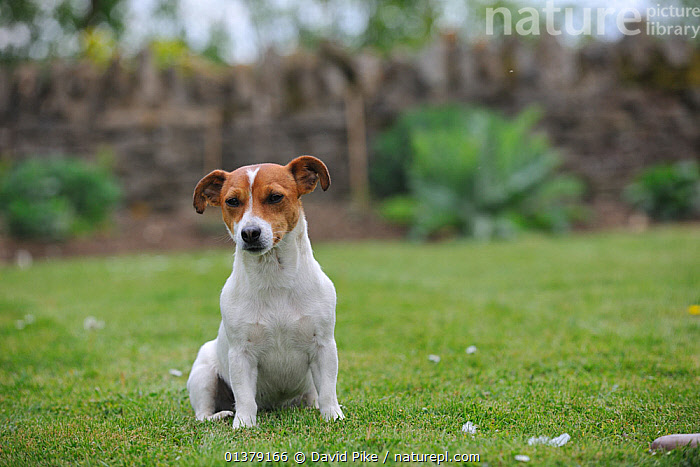 Jack russell terrier sitting in garden  ,  GARDENS,PETS,VERTEBRATES,CANIDAE,DOG,DOGS,MEDIUM DOGS,OUTDOORS,SITTING,TERRIERS,Canids  ,  David Pike