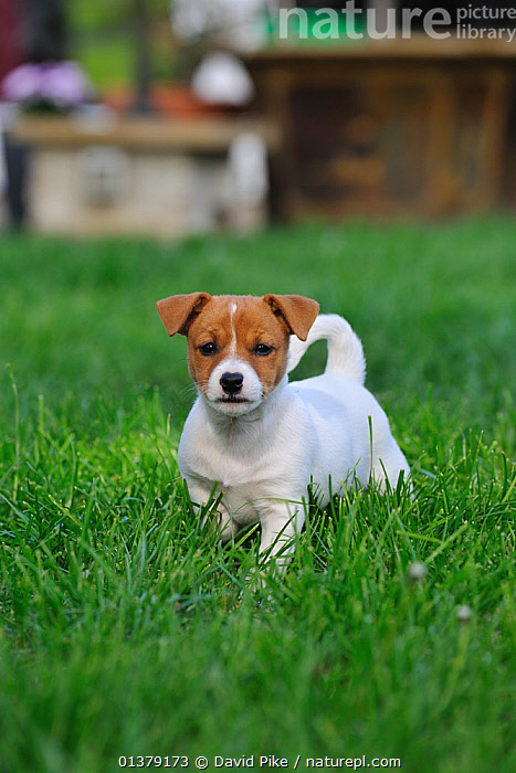 Jack russell terrier puppy in garden  ,  BABIES,CANIDAE,DOG,DOGS,MEDIUM DOGS,OUTDOORS,PUPPIES,TERRIERS,VERTICAL,PETS,VERTEBRATES,Canids  ,  David Pike