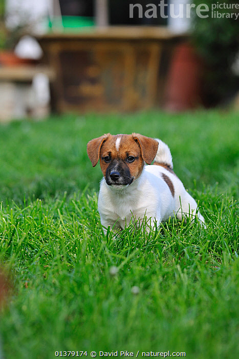 Jack russell terrier puppy in garden  ,  PETS,VERTEBRATES,BABIES,CANIDAE,DOG,DOGS,MEDIUM DOGS,OUTDOORS,PUPPIES,TERRIERS,VERTICAL,Canids  ,  David Pike
