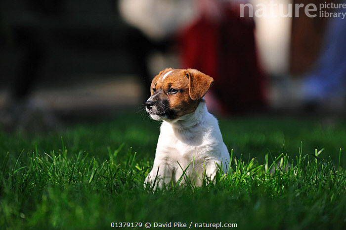 Jack russell terrier puppy sitting  ,  CANIDAE,DOG,DOGS,MEDIUM DOGS,OUTDOORS,PUPPIES,SITTING,TERRIERS,PETS,VERTEBRATES,Canids  ,  David Pike