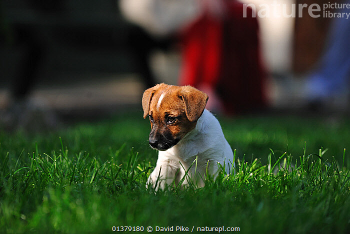 Jack russell terrier puppy sitting in garden  ,  BABIES,CANIDAE,DOG,DOGS,MEDIUM DOGS,OUTDOORS,PUPPIES,SITTING,TERRIERS,PETS,VERTEBRATES,Canids  ,  David Pike