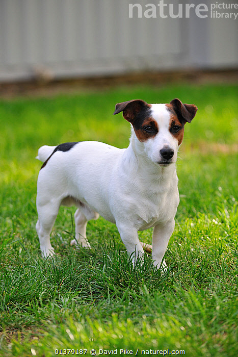 Jack russell terrier portrait  ,  CANIDAE,DOG,DOGS,MEDIUM DOGS,OUTDOORS,PORTRAITS,TERRIERS,VERTICAL,PETS,VERTEBRATES,Canids  ,  David Pike