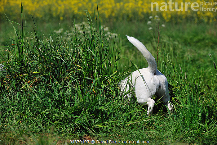 Rear view of female Jack russell terrier in long grass  ,  BEHAVIOUR,FEMALES,PETS,VERTEBRATES,CANIDAE,DOG,DOGS,MEDIUM DOGS,OUTDOORS,TAILS,TERRIERS,Canids  ,  David Pike