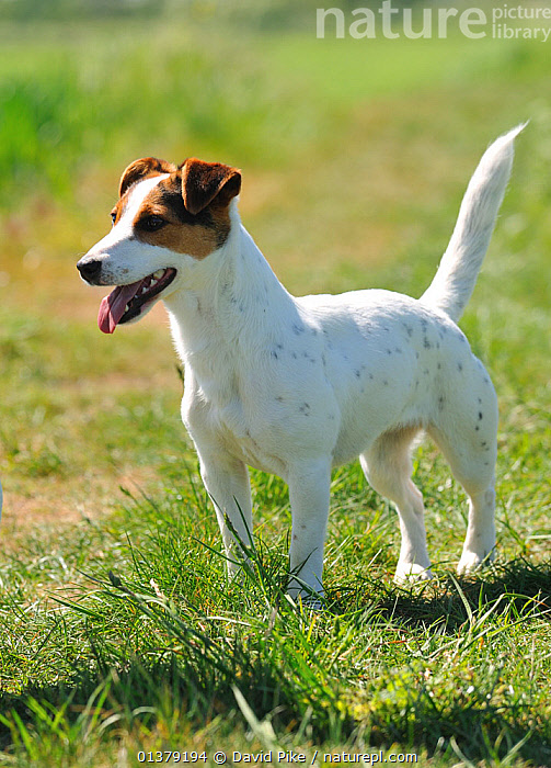 Female Jack russell terrier portrait  ,  FEMALES,PETS,SPOTS,VERTEBRATES,CANIDAE,DOG,DOGS,MEDIUM DOGS,OUTDOORS,PANTING,PORTRAITS,TERRIERS,VERTICAL,Canids  ,  David Pike