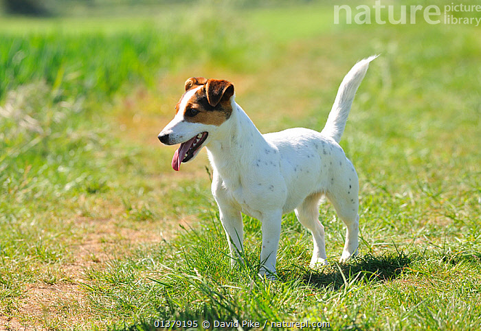 Female Jack russell terrier in field  ,  FEMALES,PETS,SPOTS,VERTEBRATES,CANIDAE,DOG,DOGS,MEDIUM DOGS,OUTDOORS,PANTING,TERRIERS,Canids  ,  David Pike