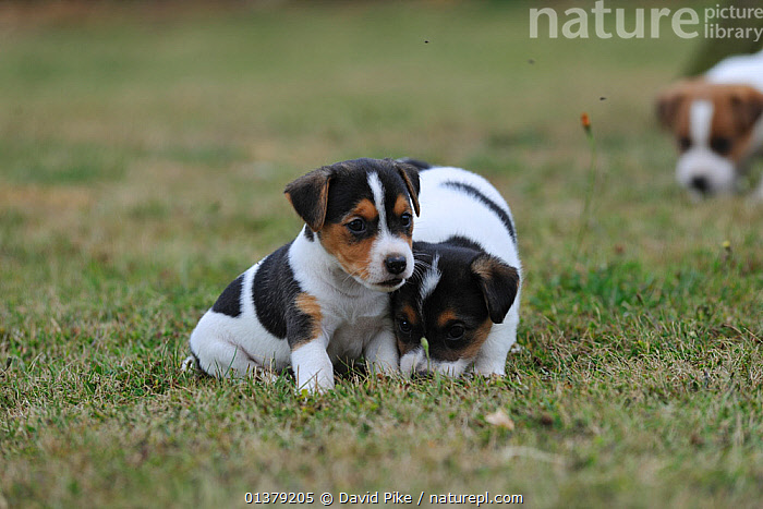 Two Jack russell terrier puppies interacting  ,  BABIES,CANIDAE,DOG,DOGS,INTERACTION,MEDIUM DOGS,OUTDOORS,PUPPIES,SITTING,TERRIERS,CUTE,PETS,VERTEBRATES,Canids  ,  David Pike